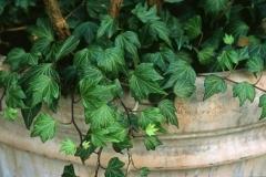 H.helix Green Ripple