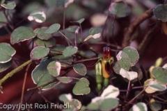 F. procumbens buntlaubig