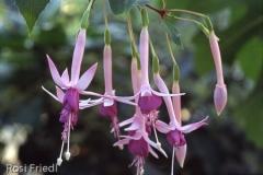 Fleur de Picardie