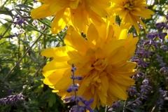 Hohe Sonnenblume
