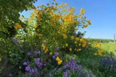 Hohe Sonnenblume mit Verbenen